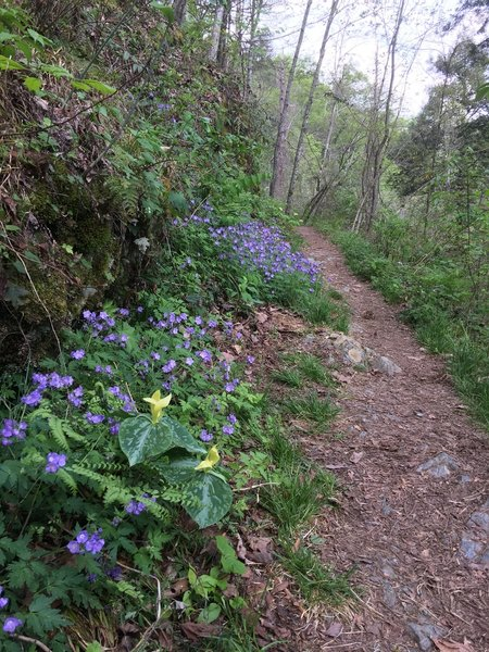 Spring wildflowers bloom along the Chestnut Top Trail.