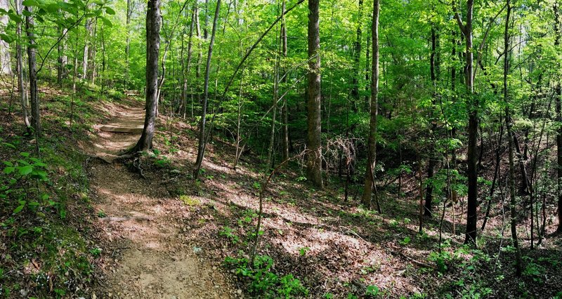 The trail carving through the forest.