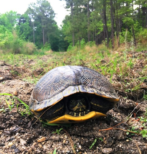 An ancient Eastern Box Turtle taking up the trail.