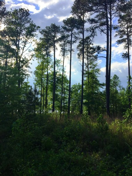 Glimpse of the lake through the Loblolly Pine.