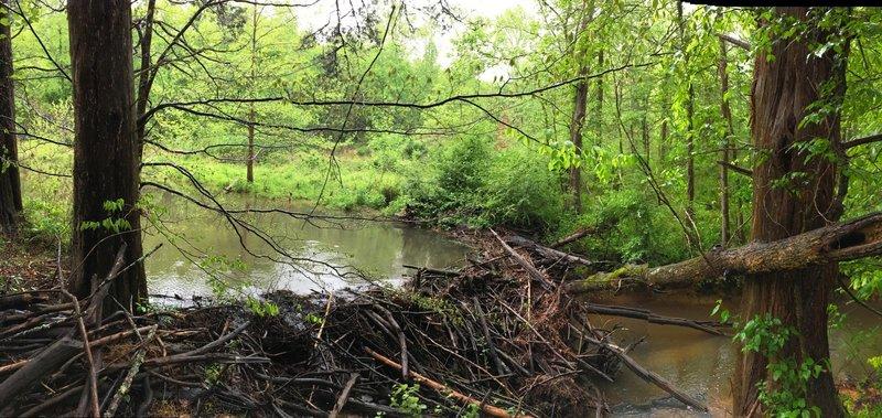A successful beaver dam.