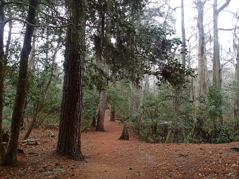 The pine needle covered Osmanthus Trail.