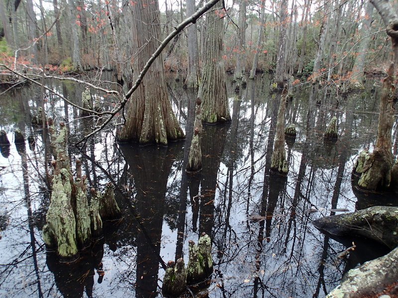 Bald Cypress Trees along the Bald Cypress Trail.