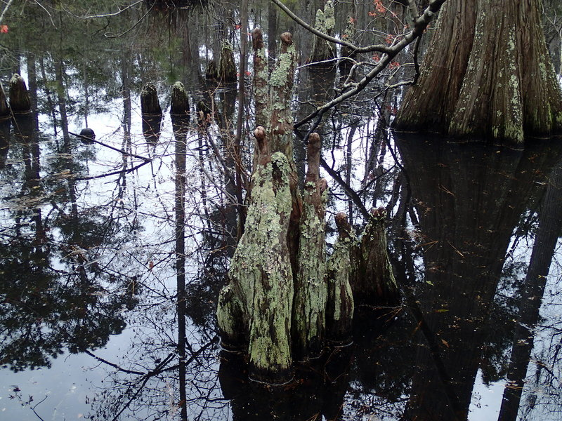Bald Cypress Trees growing in the marsh give the trail its name.