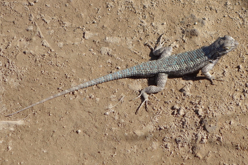 A blue belly lizard at Mission Trails Park.