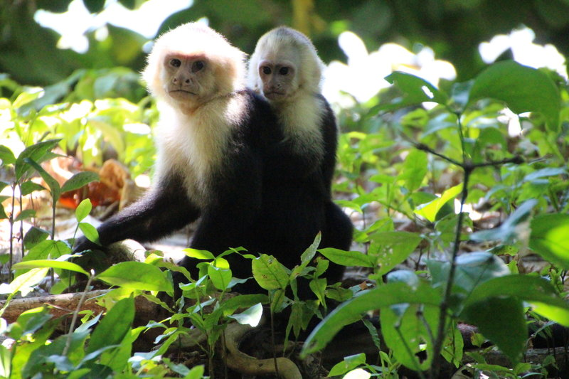 White Face Monkeys (mom and baby).
