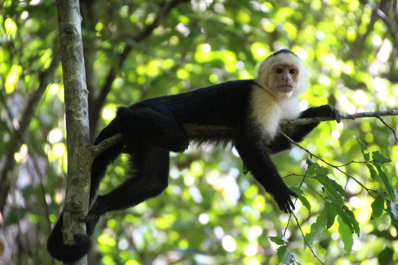 White Face Monkeys can be spotted along the Sendero Punta Catedral.