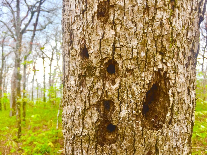 Red-Cockaded Woodpecker? Perhaps. This dwarf oak at the peak has seen its last days.