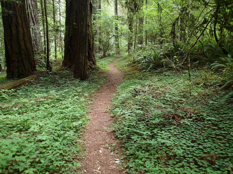 Wellman Loop Trail traverses age-old forests in the heart of the redwoods.