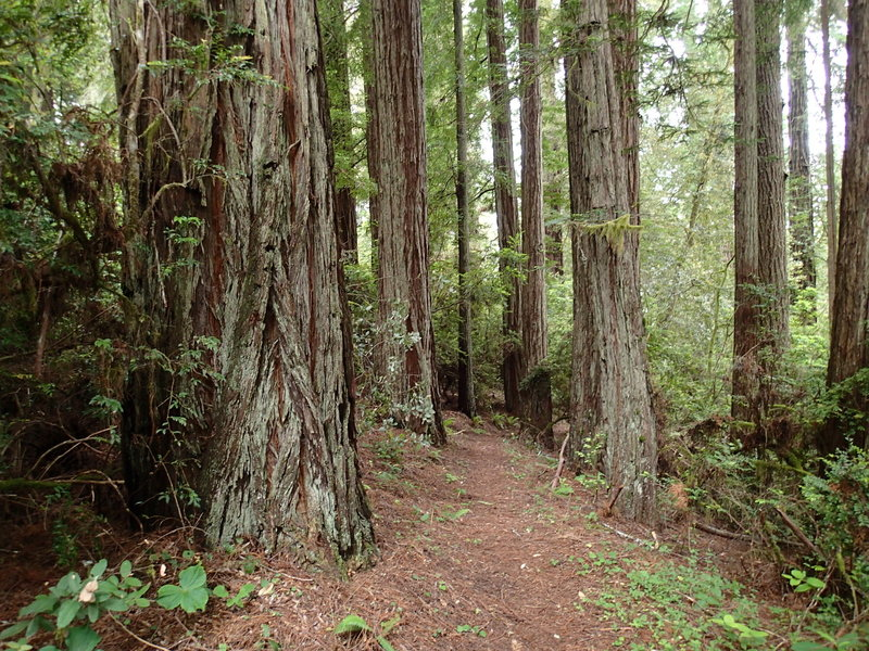 The Wellman Loop Trail traverses the base of numerous towering redwoods.