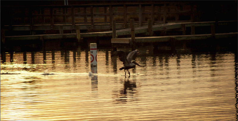 A pelican flies over the sound at Soundside Park in Surf City, NC.
