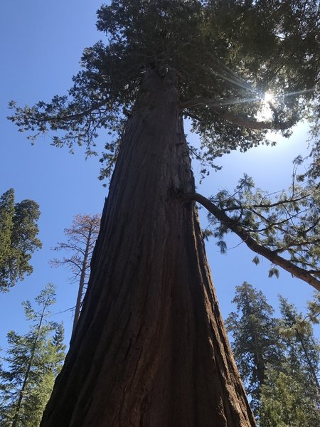 This is one of the first sequoias on the loop.