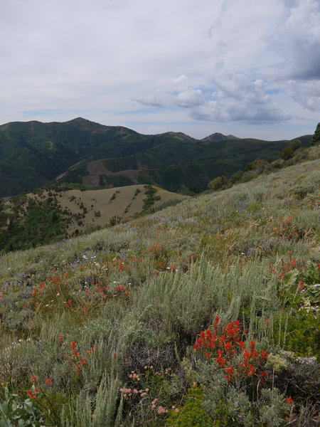 Wasatch wildflowers along the Great Western Trail.