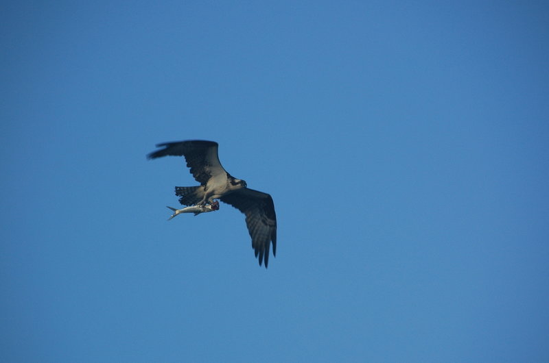 Osprey with a mullet flying back to the nest.