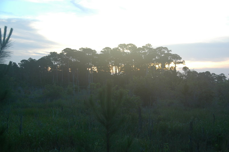 Sunrise through the tall pines.