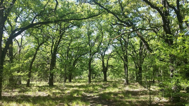 The shaded canopy of the Savanah Post Oak.