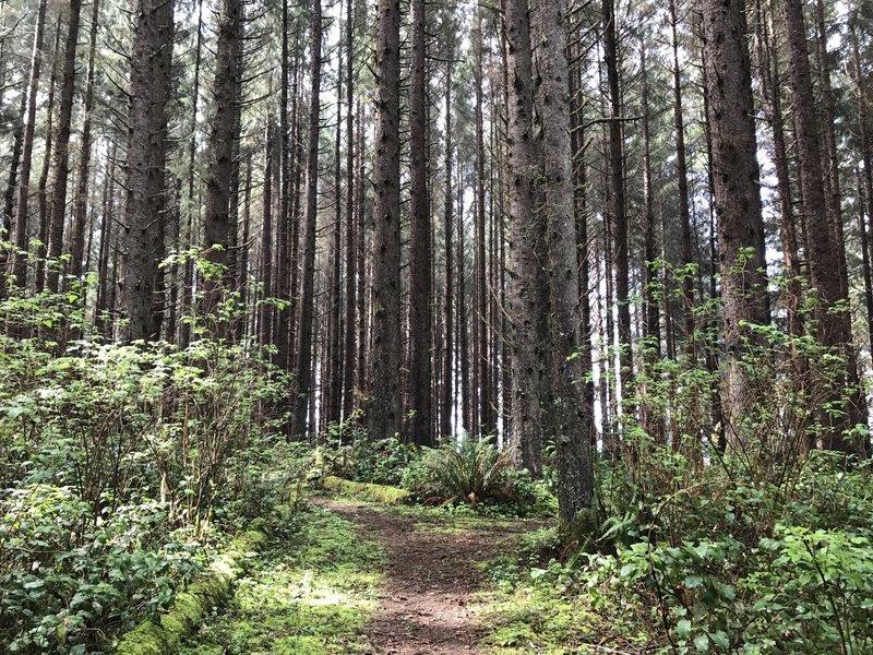 Tall trees along the Azalea Trail.