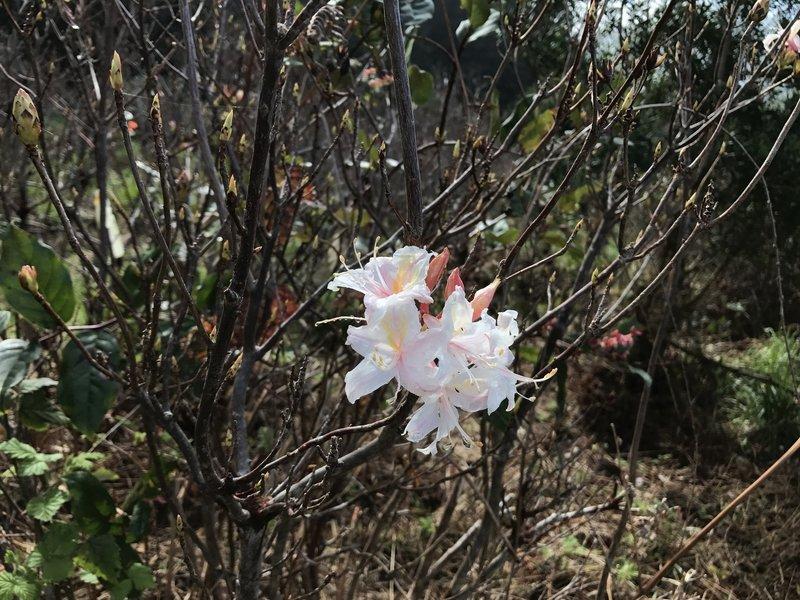 Azalea blossom.