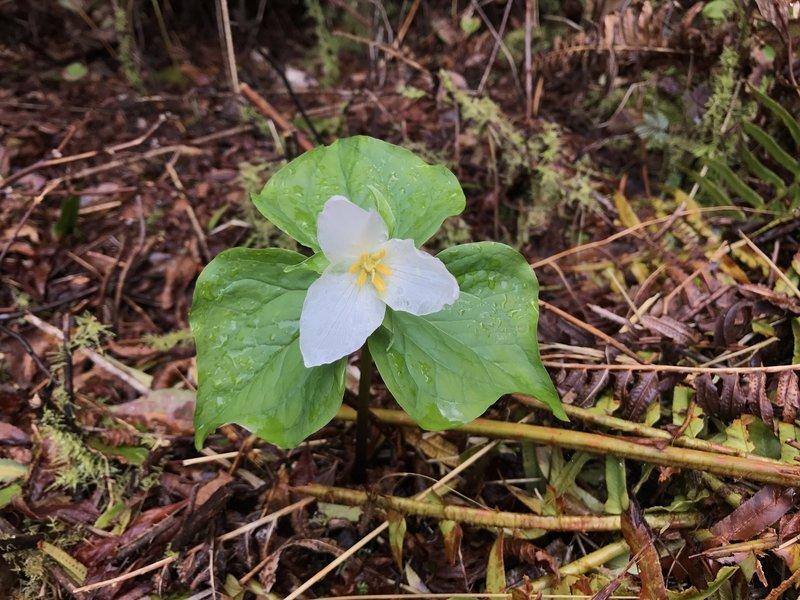 Trillium flower.