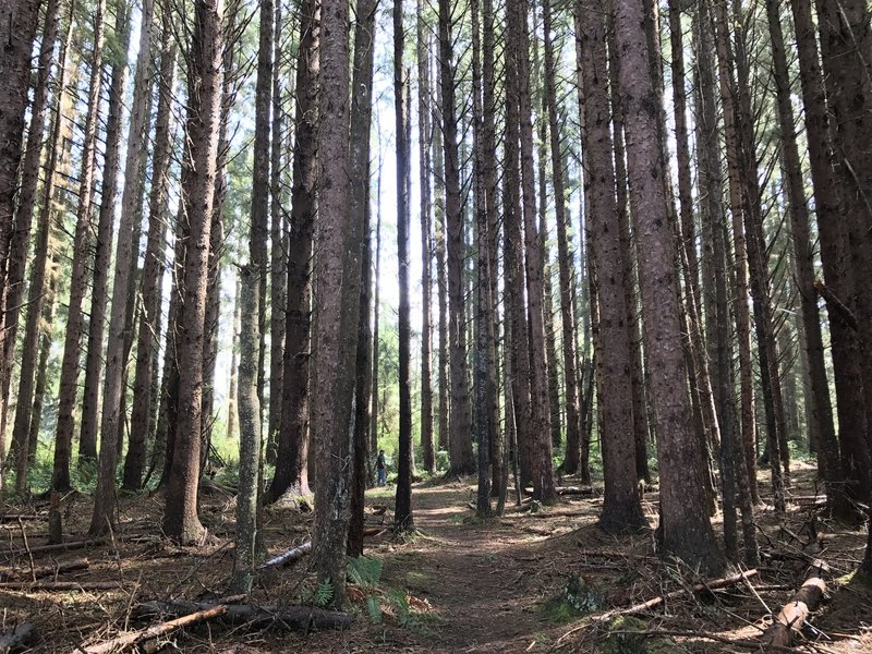 Sitka spruce forest.