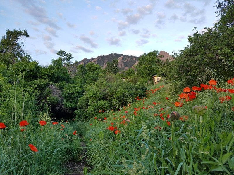 Poppies blooming at the start of the Enchanted Mesa Trail. June 2016.