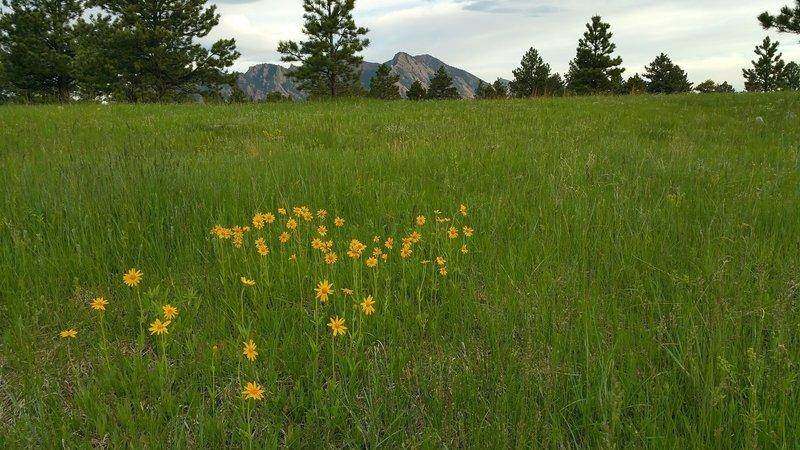 Flowers in the meadow along Prairie Vista Trail. June 2016.