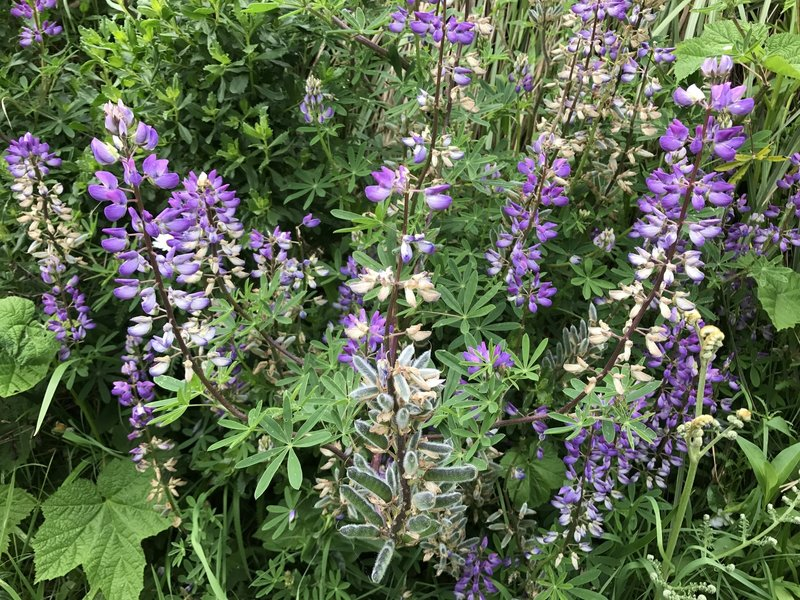 Lupine flowers and pods.