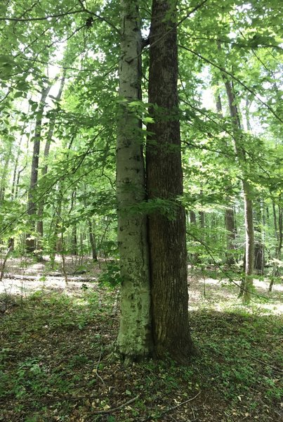 A beech tree can be seen getting friendly with a tulip poplar along Eno Road.