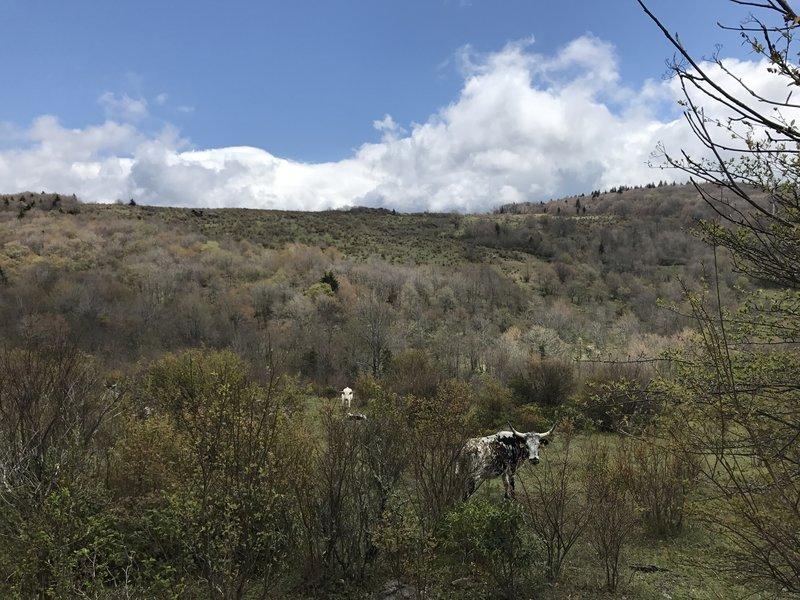 Many longhorn cattle graze along the trails.