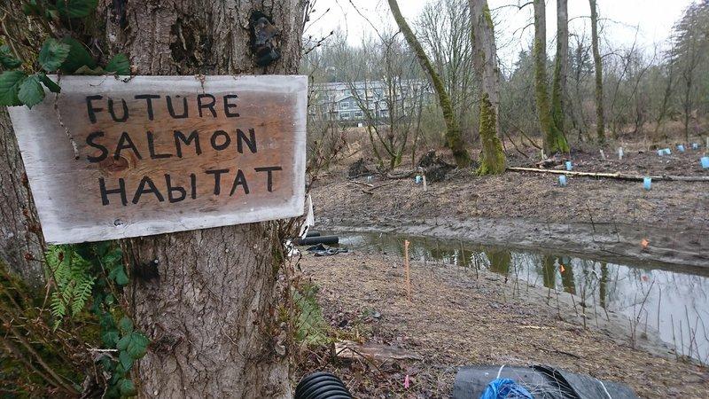 Future salmon habitat exists right alongside the Sammamish River Trail.