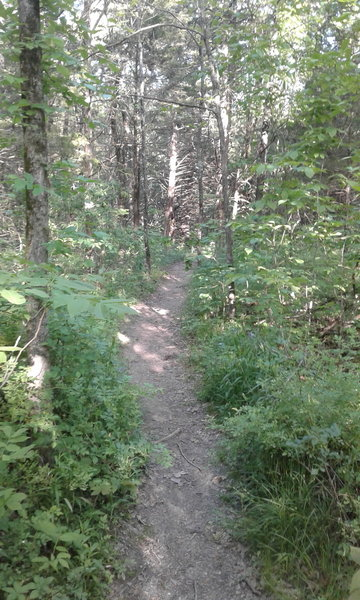 Starting down the trail, enjoy its smooth surface and pleasant forest views.