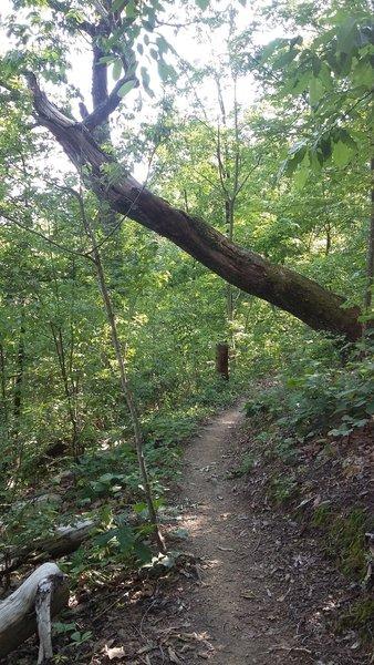 A dead tree hangs precariously over Sharp Shin.