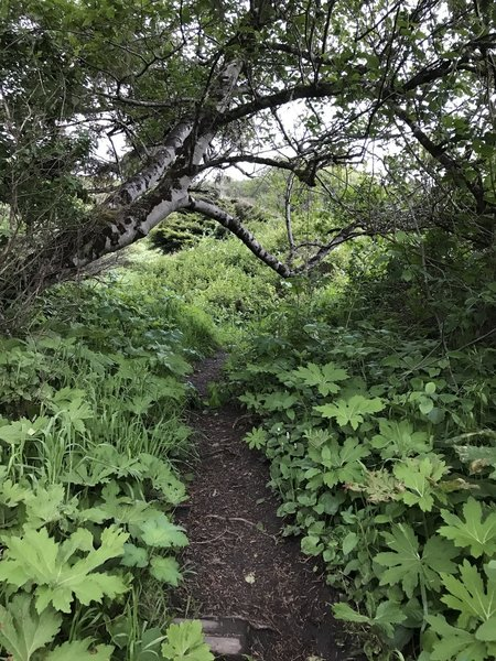 The College Cove Trail traverses lush undergrowth.