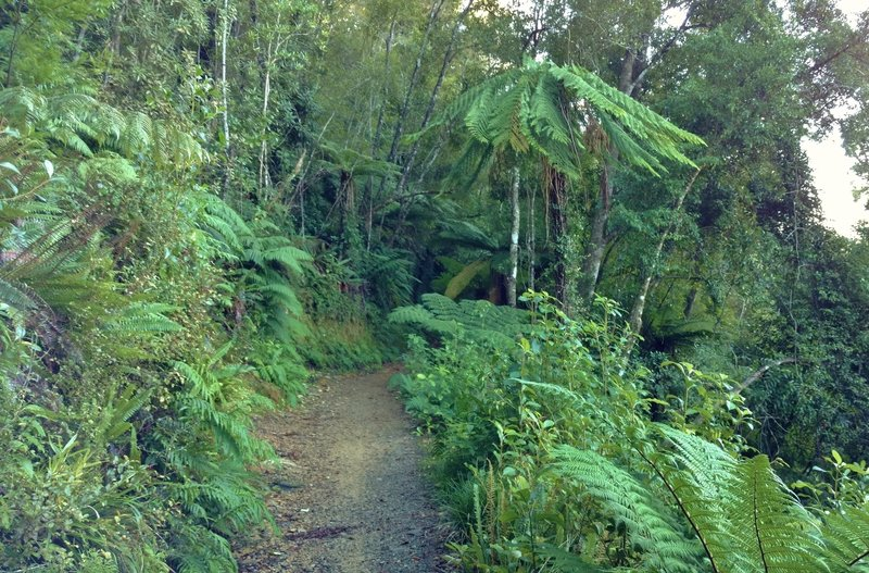 Ferns are everywhere in the dense vegetation of the Heaphy Track.