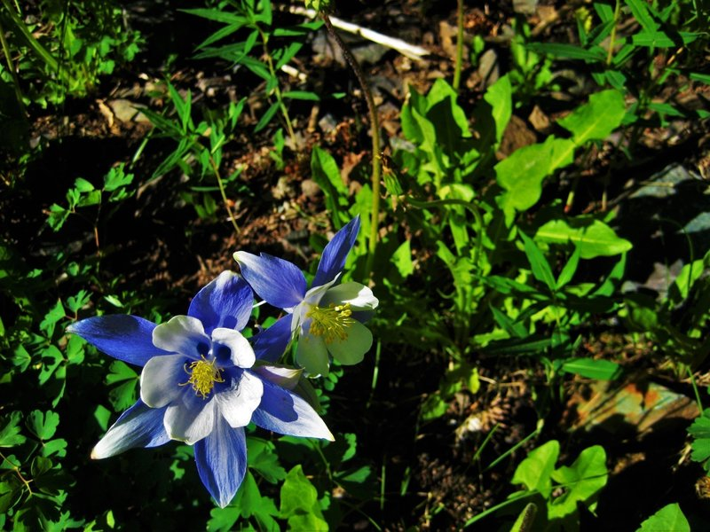 In a state widely recognized for its snow, blue skies, and mining history, the gold, white, and blue hues of the Rocky Mountain Columbine is a perfect embodiment of Colorado.