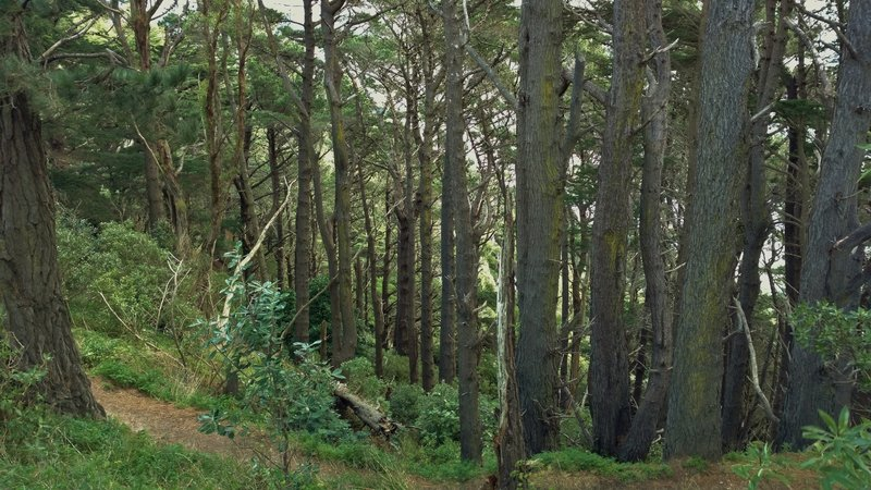 The forest around Mt. Victoria Lookout is dense and beautiful.