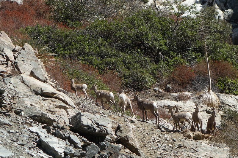 Eight bighorn sheep go for a stroll near the Bridge To Nowhere.
