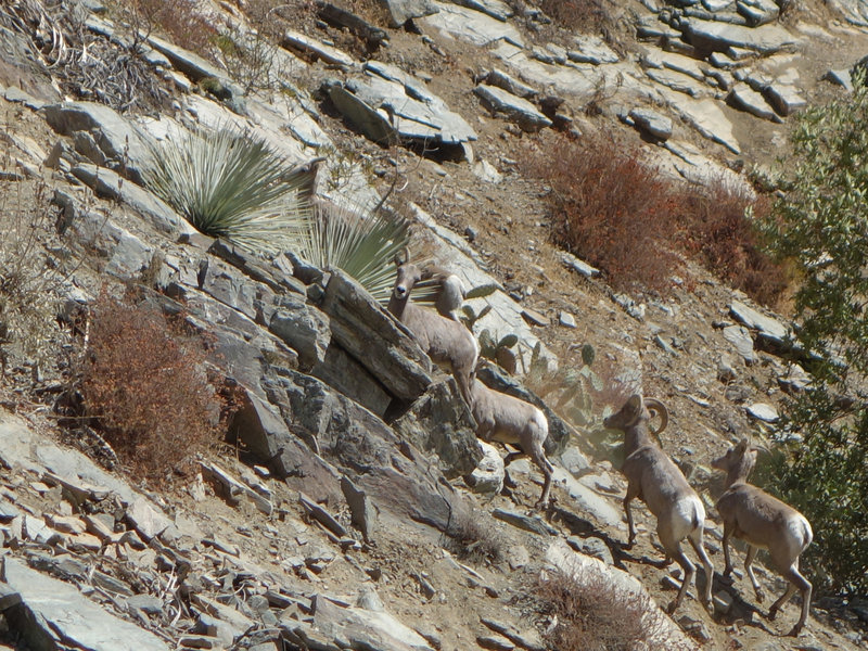Bighorn sheep scramble up a steep incline near the Bridge to Nowhere.