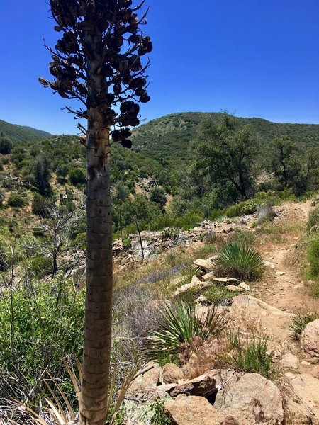 Tall yucca grow along the trail.