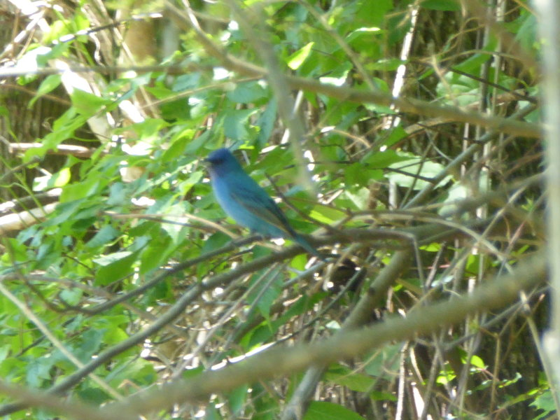 An indigo bunting enjoys the shade of a small bush along the Hillside National Wildlife Refuge Trail.
