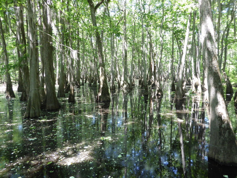 Check out the cypress swamp along the Alligator Slough Nature Trail!