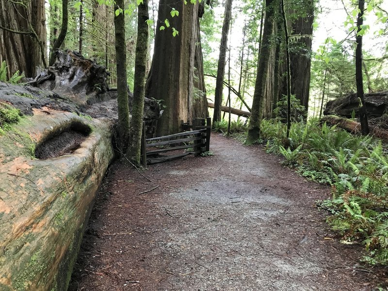 Stout Grove is a must-see in Jedediah Smith Redwoods State Park.