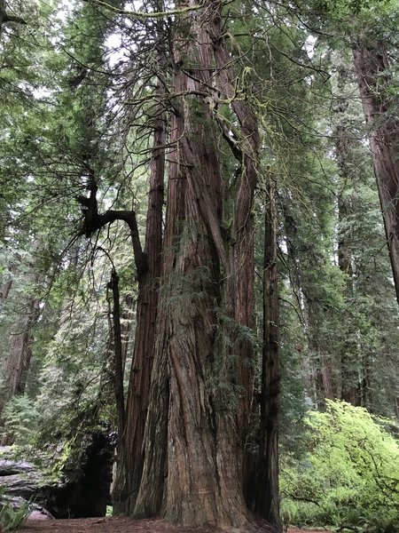 You just can't get a sense of how massive these trees are from a photo.