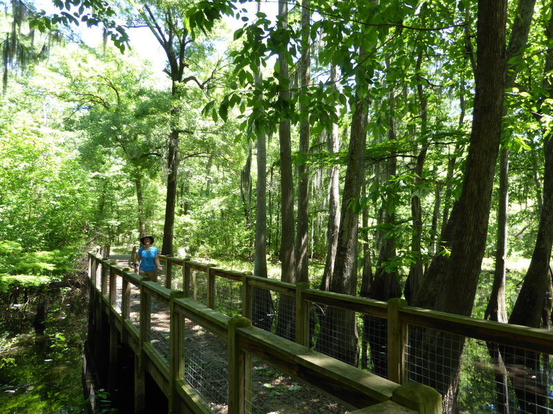 A sturdy boardwalk aids your passage through the cypress swamp.