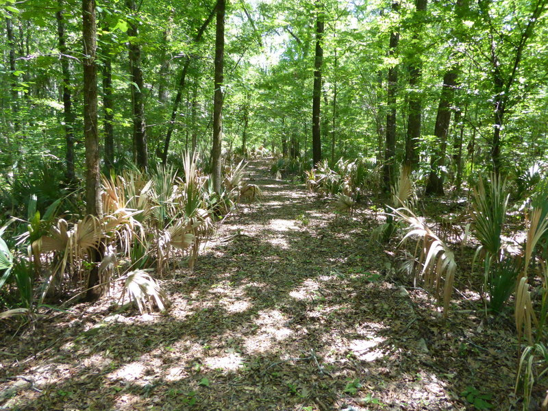 The Alligator Slough Nature Trail winds through dense palmetto undergrowth.
