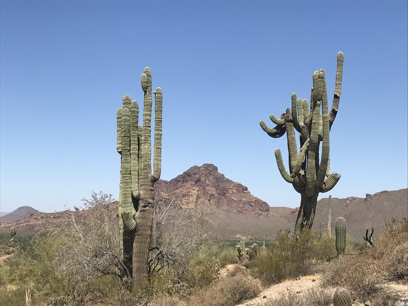 Some crazy Saguaros grow along the Maricopa Trail with Red Mountain in the background.
