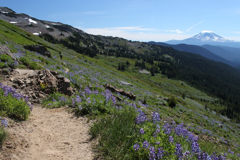 Fields of lupines frame views of Mt. Adams.