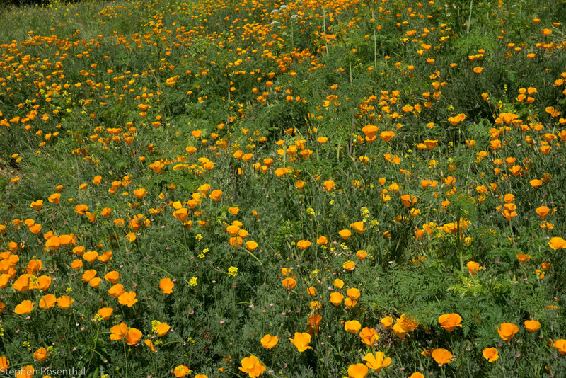 California Poppies at the top of the Todd Quick Trail.