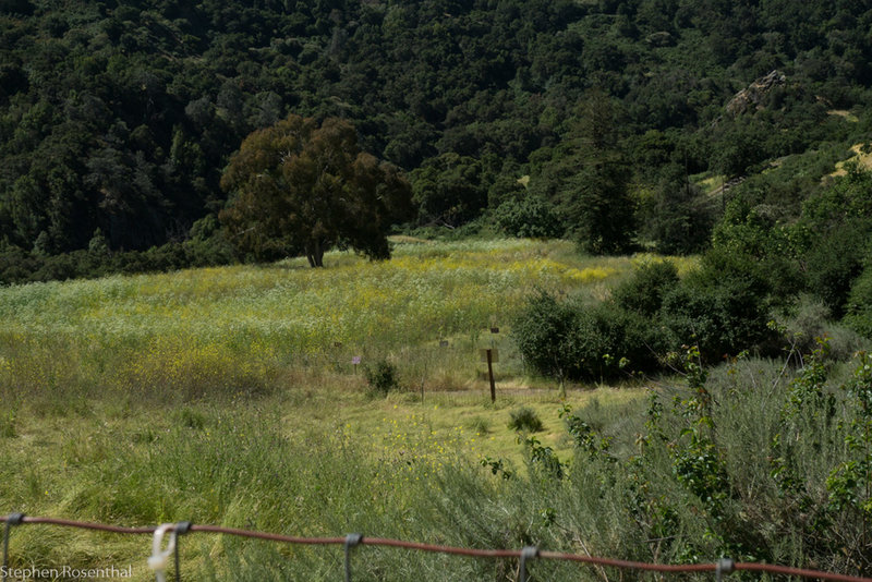 Meadow of mostly invasives, including Poison Hemlock and Mustard.