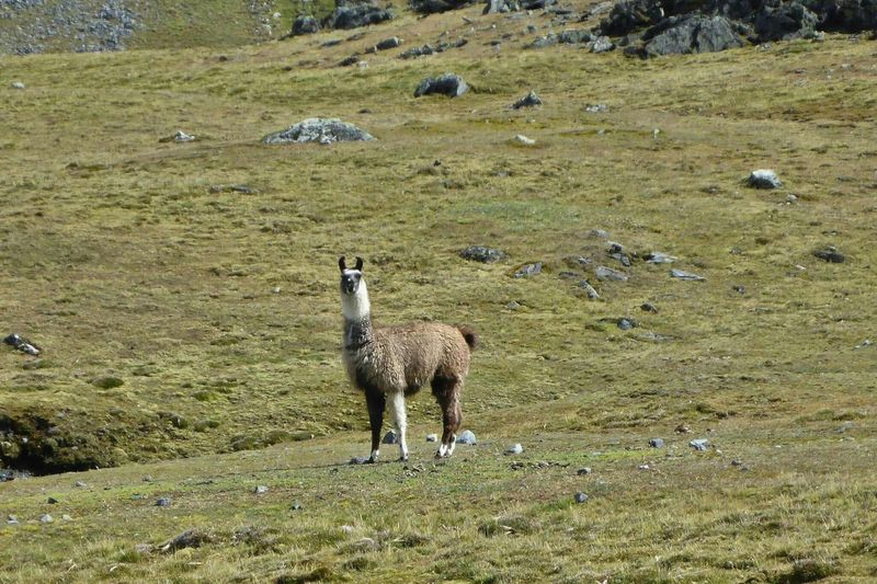 Llamas can occasionally be seen in the valley.